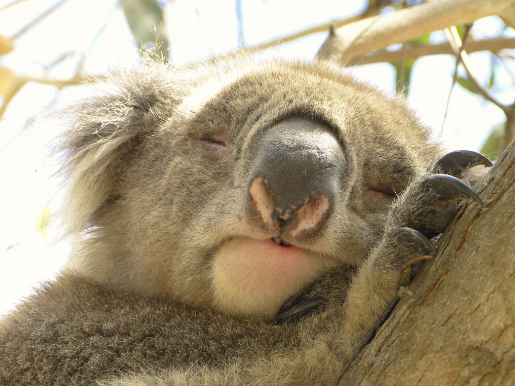 Koala-Danisio-klein