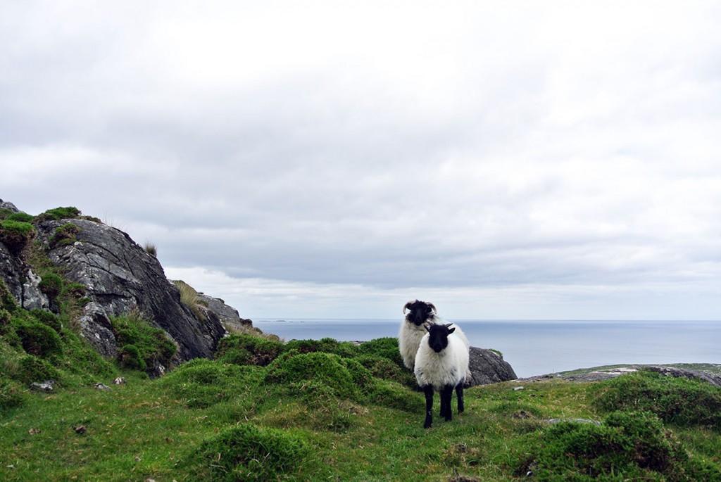 Irland-schaf